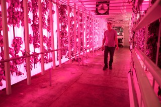 Local Greens' Manager Ron Mitchell walks down the main aisle of their space saving vertical Basil plant grow. The room has an intense magenta glow due to the LED lighting set up. Photo by Taylor Reyes.